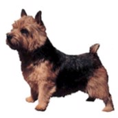 Klistermærke, Norwish Terrier